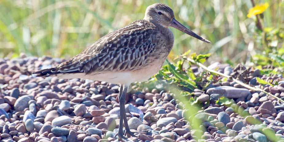 Bar Tailed Godwits may be seen occasionally in the Outer Hebrides